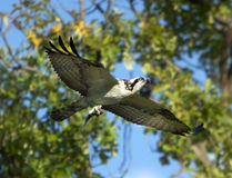 Osprey In Flight With Prey Stock Images