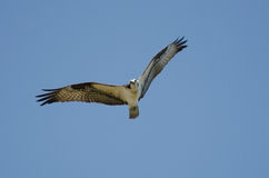 Osprey in Flight, Savannah National Wildlife Refuge Stock Images