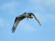 Osprey In Flight With Shad Stock Photos