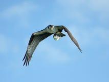 Osprey In Flight With Shad Stock Photos