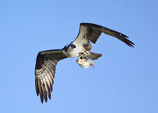 Osprey In Flight With Shad Royalty Free Stock Images