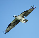 Osprey In Flight With Shad Stock Photo