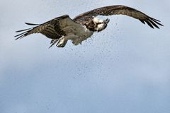 Osprey in flight shaking water from his feathers royalty free stock image
