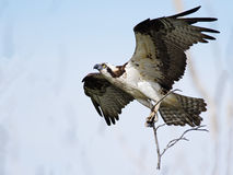 Osprey in Flight with Sticks Stock Images