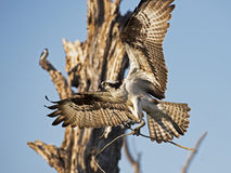 Osprey in Flight with Sticks Stock Photos