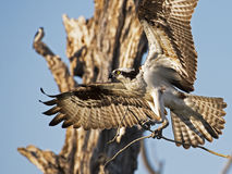 Osprey in Flight with Sticks Royalty Free Stock Photos