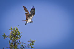 Osprey in flight. Osprey taking off from tree Royalty Free Stock Images