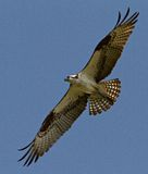 Osprey in Flight. Osprey wings fully outstretched. Bird in flight gliding in the sky Stock Photo