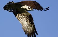 Osprey-Flugwesen-Flügel verbogen Lizenzfreie Stockfotos