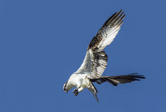 Osprey flutters its wings. Royalty Free Stock Photo