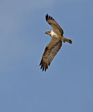 Osprey flying. Young osprey flying in the sky Stock Photos