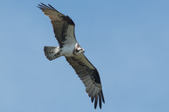 Osprey Royalty Free Stock Images
