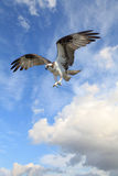Osprey Flying in a Beautiful Cloudy Sky Royalty Free Stock Photo