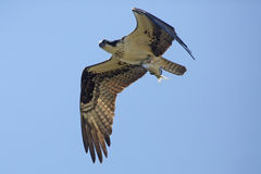 Osprey flying with a big fish in its talons, Florida. Osprey, Pandion haliaetus, flying with a fish in its talons in a blue sky at Magnolia Park on the shore of royalty free stock image