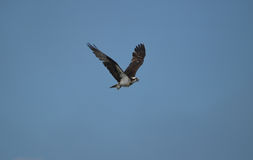 Osprey Flying in a Blue Sky Royalty Free Stock Photos