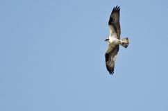 Osprey Flying in a Blue Sky Stock Images