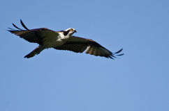 Osprey Flying in a Blue Sky Stock Photography