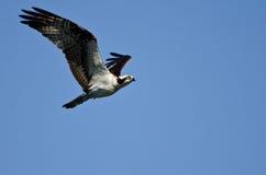 Osprey Flying in a Blue Sky Stock Photos