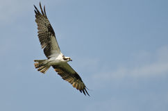Osprey Flying in a Blue Sky Royalty Free Stock Image