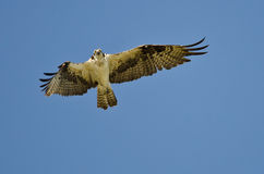 Osprey Flying In A Blue Sky Royalty Free Stock Photography
