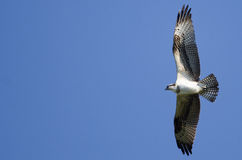 Osprey Flying in a Blue Sky Stock Image