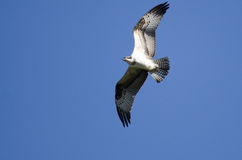 Osprey Flying in a Blue Sky Stock Photo