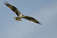 Osprey Flying in a Clear Blue Sky Stock Photos