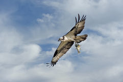 Osprey flying in clouds with fish Royalty Free Stock Photos