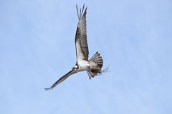 Osprey flying clutching nest material Stock Image