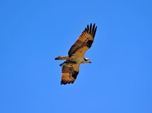 Osprey flying with fish Stock Images