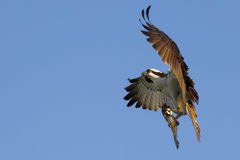 Osprey Flying With Fish From Hunt. Osprey, a bird in the raptor family that specializes in hunting fish, stretches out it's wings and talons as it prepares to Royalty Free Stock Photo