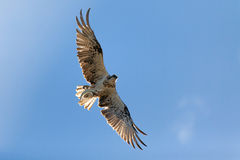 Osprey flying with a fish in its talons Stock Images