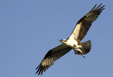 Osprey Flying With Fish in Talons. Osprey, a bird in the raptor family that specializes in hunting fish, stretches out it's wings and talons as it prepares to Stock Images