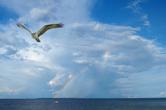 Osprey Flying in from Fishing Trip in the Bay Stock Images