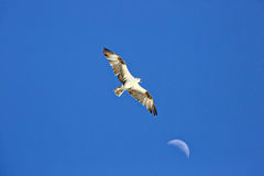 Osprey flying high with the moon in the background Stock Photography