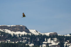 Osprey Flying High Over the Snow Covered Mountains Royalty Free Stock Photo