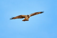 Osprey flying and hunting on the  blue sky Stock Image