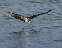 Osprey flying just before grabbing a fish Royalty Free Stock Image
