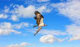 Osprey flying with a large fish in talons in the clouds. Osprey flying in the clouds over the Chesapeake Bay with a very large fish in its talons royalty free stock photo