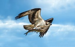 Osprey flying with large fish in talons. Osprey flying in blue cloudy sky with large fish in talons royalty free stock image