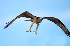 Osprey Flying Legs Down Royalty Free Stock Photo