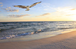 Osprey Flying in from the ocean at sunrise Stock Photo