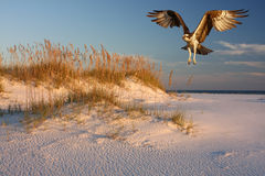 Osprey Flying Over the Beach at Sunset. An Osprey flying over the white sand beach at sunset Royalty Free Stock Photography