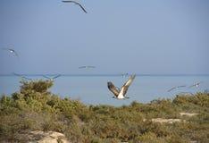 Osprey flying over bushes Royalty Free Stock Images