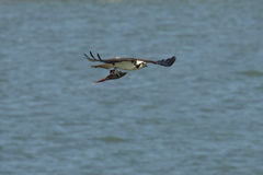 Osprey flying over Delaware River with fish in its talons. Royalty Free Stock Photography