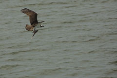 Osprey flying over Delaware River with fish in its talons. Stock Photo