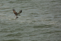 Osprey flying over Delaware River with fish in its talons. Osprey, Pandion haliaetus, with a fish in its talons, flying over water of the Deleware River mouth royalty free stock image