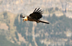 Osprey flying over the Pyrenees Mountains Stock Photos