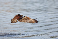 Osprey flying over river Stock Photo