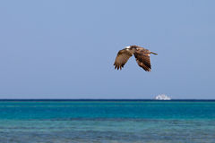 Osprey flying over the sea Royalty Free Stock Images